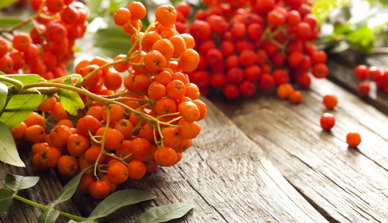 Красная рябина: полезные свойства, заготовка сырья, применение