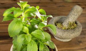 Использование медовой травы для лечения различных заболеваний