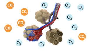 Определение степени наполнения воздухом органов дыхания