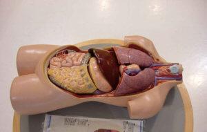 Анатомия изучает строение органов и систем человека