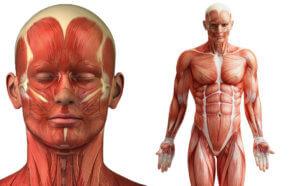Пособие для изучения внутренних органов человека
