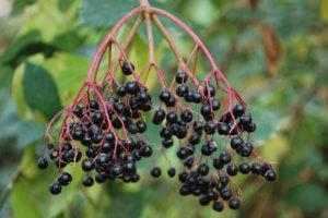 Применение ягод бузины черной в нетрадиционной медицине