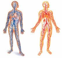 Анатомия правой и левой повздошной вены