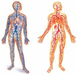 Подвздошная вена: строение и основные заболевания